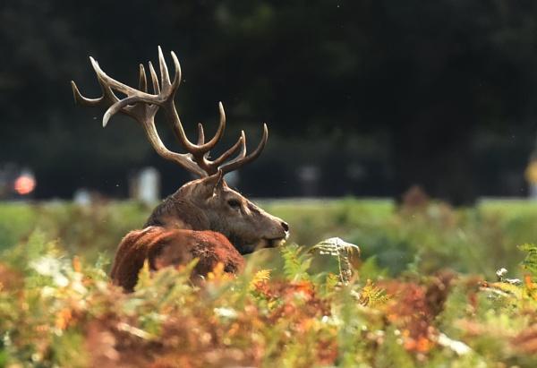 Red Deer by Fogey
