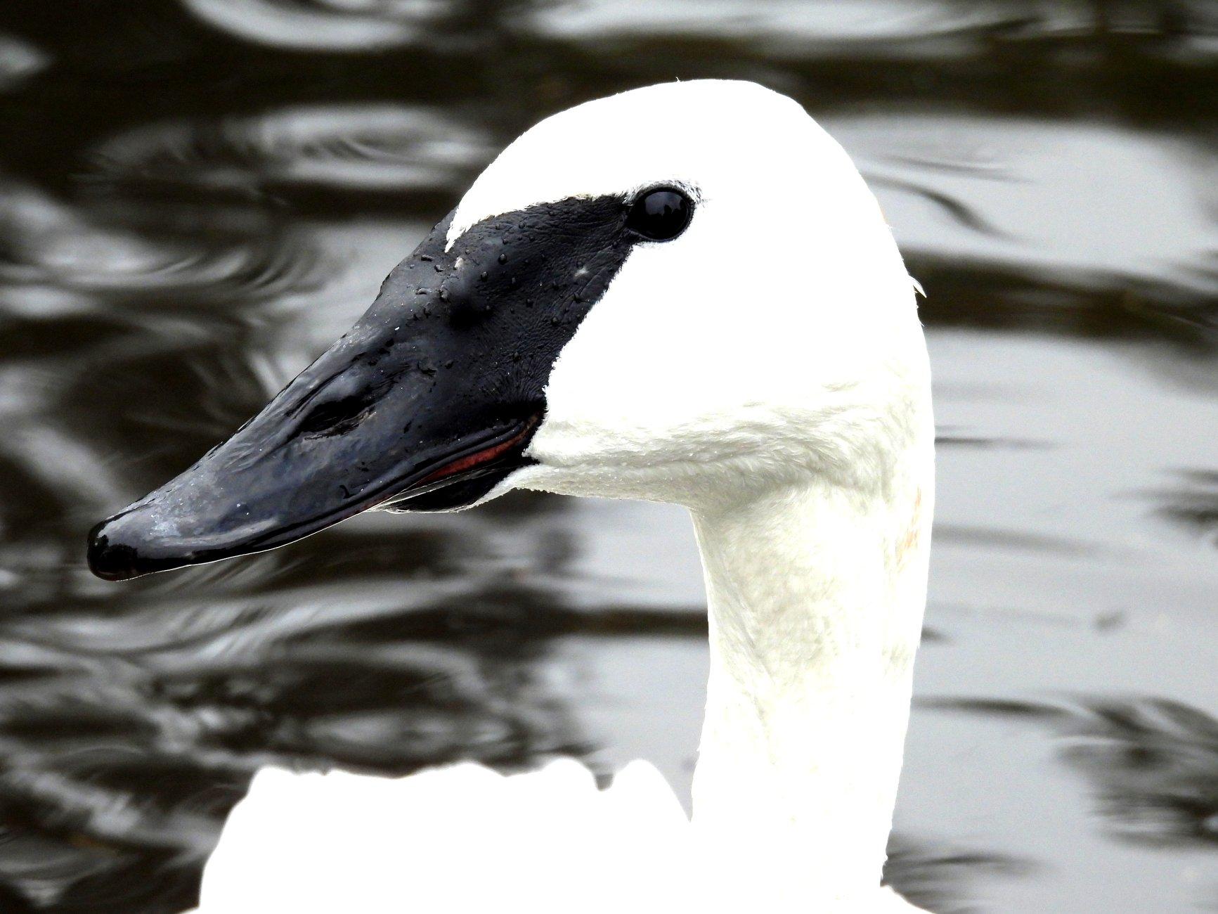 black headed swan