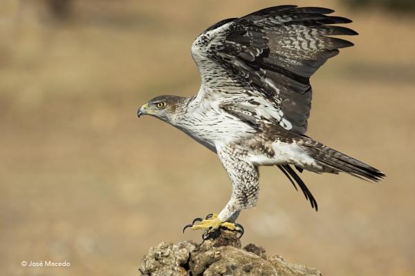 �guia-bonelli (Aquila fasciata) by lord_macedo