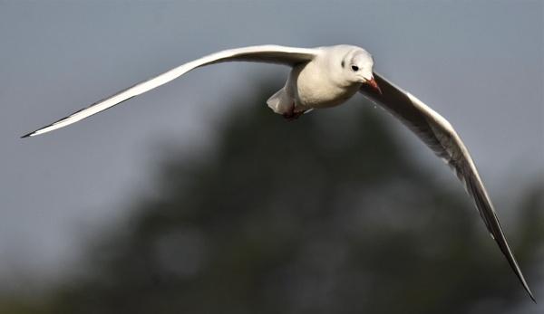 Black headed gull in flight by Madoldie