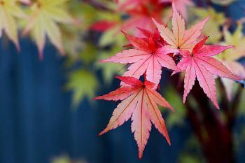 A Coral Bark Japanese Maple.