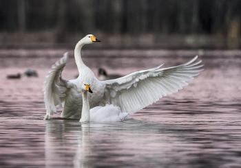Whooper swans in Espoo 5