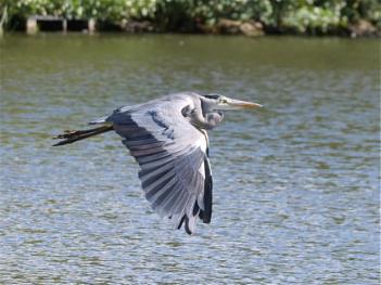 Heron over Derbyshire lake