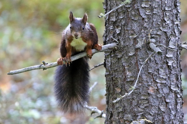Red squirrell by GPMASS