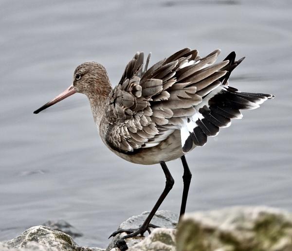 Black tailed godwit by Debmercury
