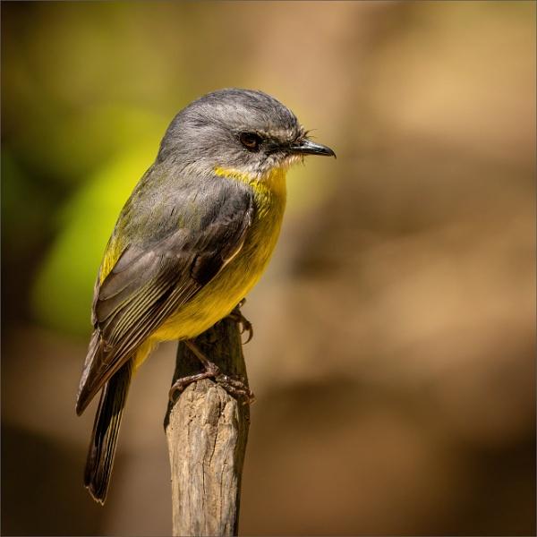 Eastern Yellow Robin by tvhoward950