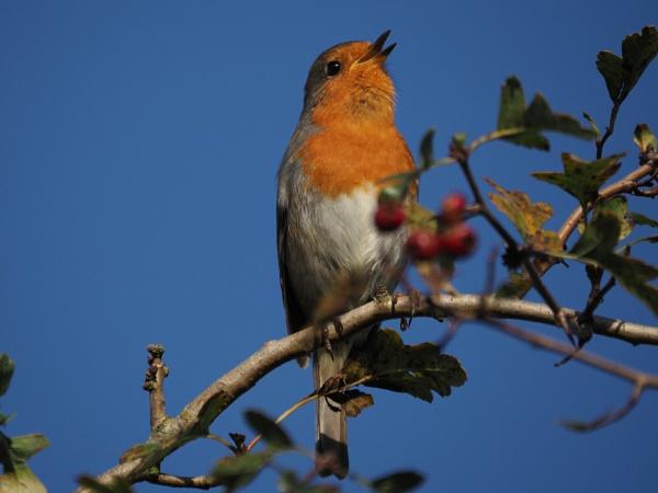 Robin by GwB
