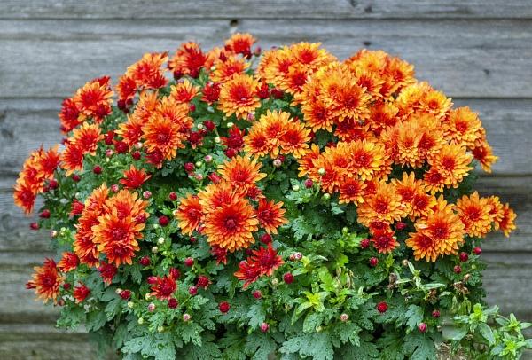 Chrysanthemuns by Selby
