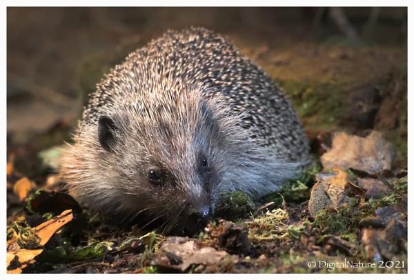 Hedgehog by Norfolkboy