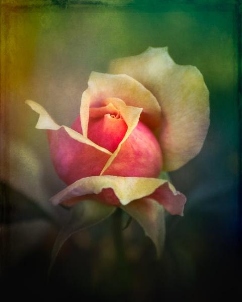 Beautiful Rose by SueLeonard