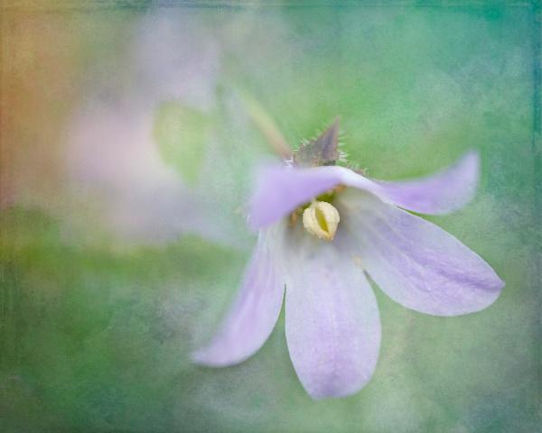 Austral Bluebell by SueLeonard