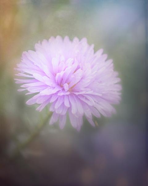 Lilac Chrysanthemum by SueLeonard