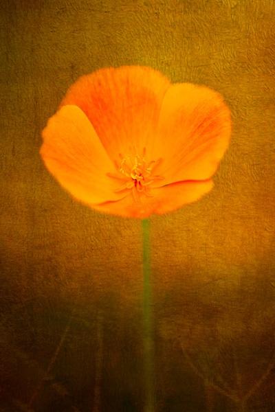 Poppy with texture by SueLeonard