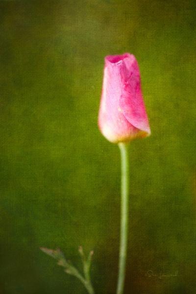 Tulip Bud 1 by SueLeonard
