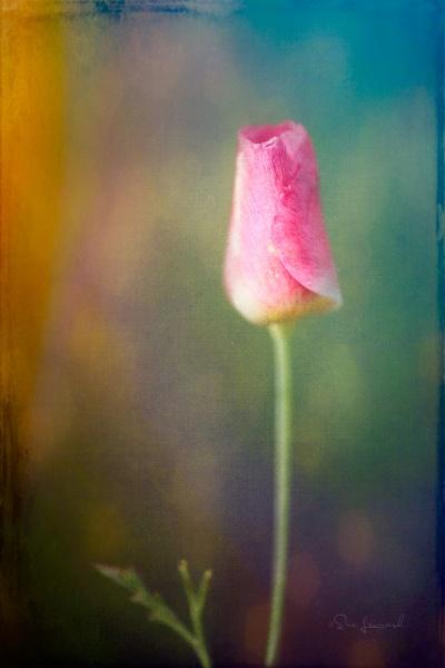 Tulip Bud 5 by SueLeonard