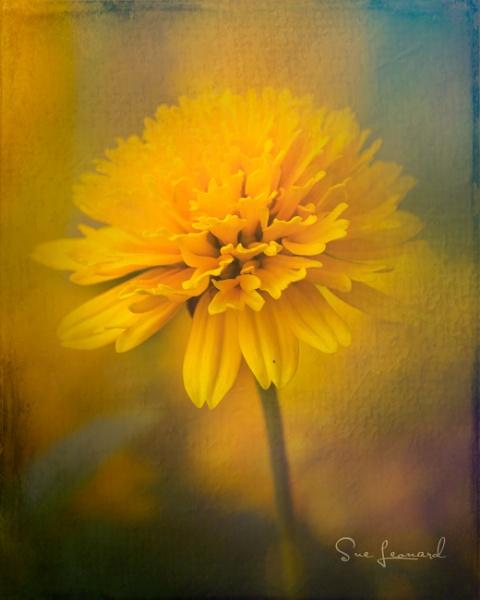 Golden Marigold by SueLeonard
