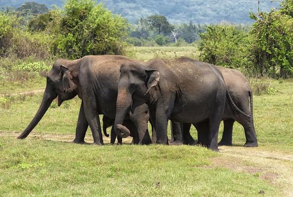Asian Elephants by Buffalo_Tom