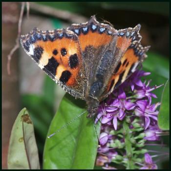 A Small Tortoiseshell Butterfly :---