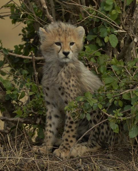 Cheetah Cub by Alec1