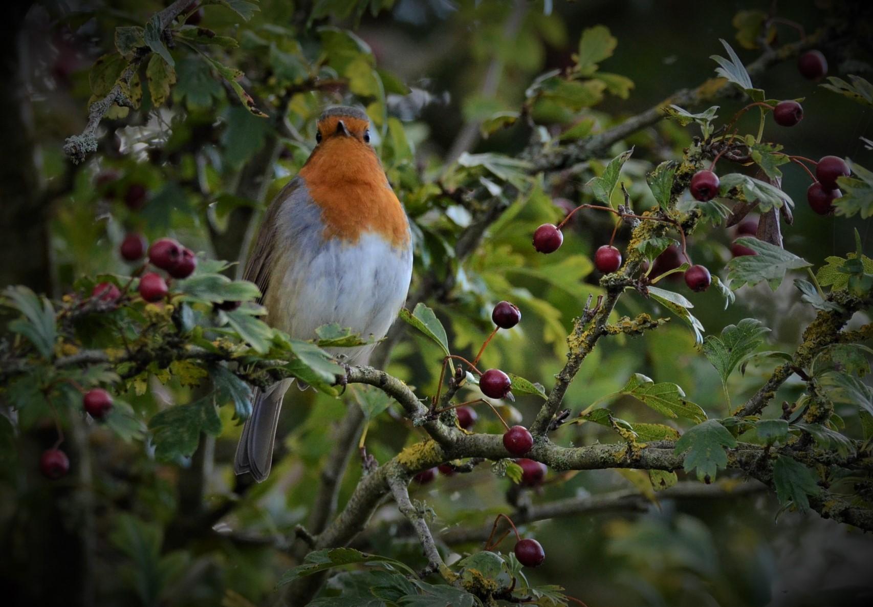 Mr Robin...