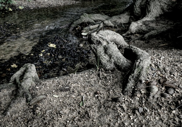 Roots by nclark