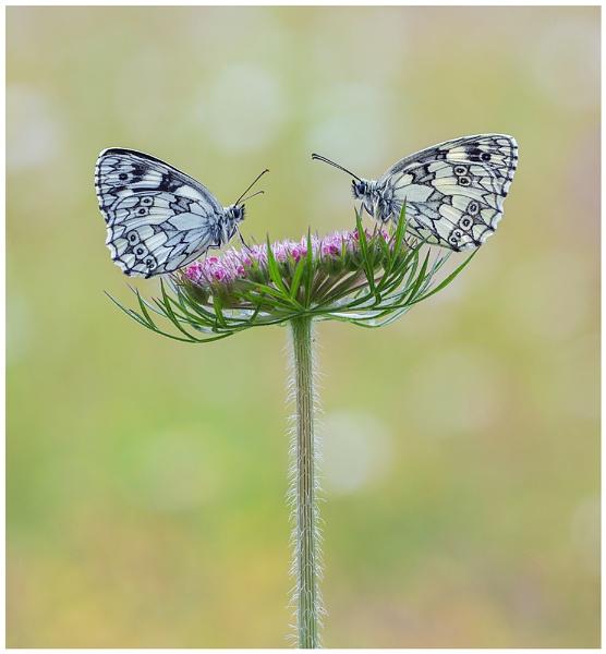 Marbled Whites - Melanargia galathea. by NigelKiteley