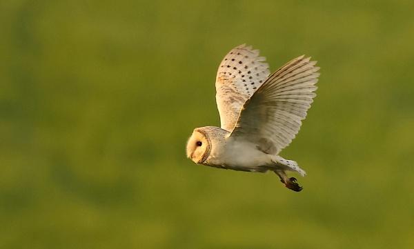 Evening Barn Owl by Len1950