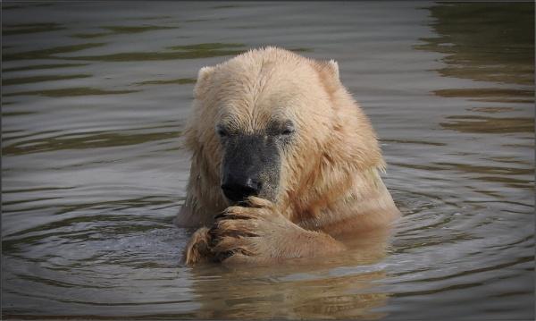 Last of the polar bears by PhilT2