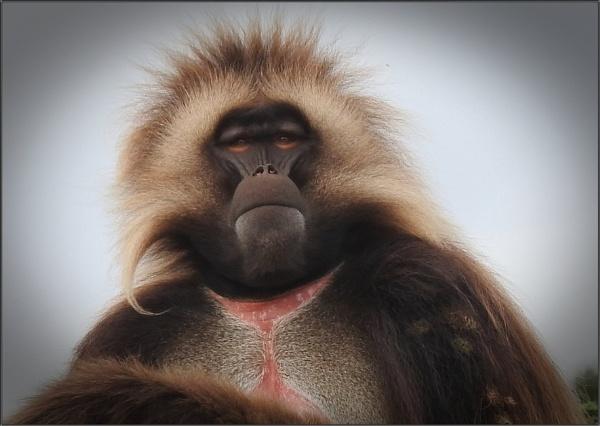 Male Gelada Monkey by PhilT2