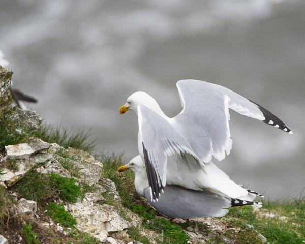 Herring Gulls by Alan_Baseley