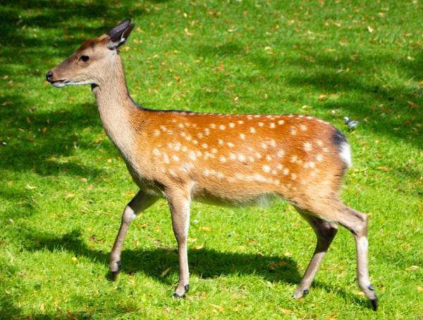 Deer by comuirgheasa