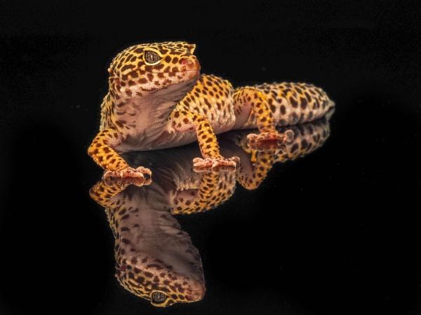 Leopard Gecko by cfreeman