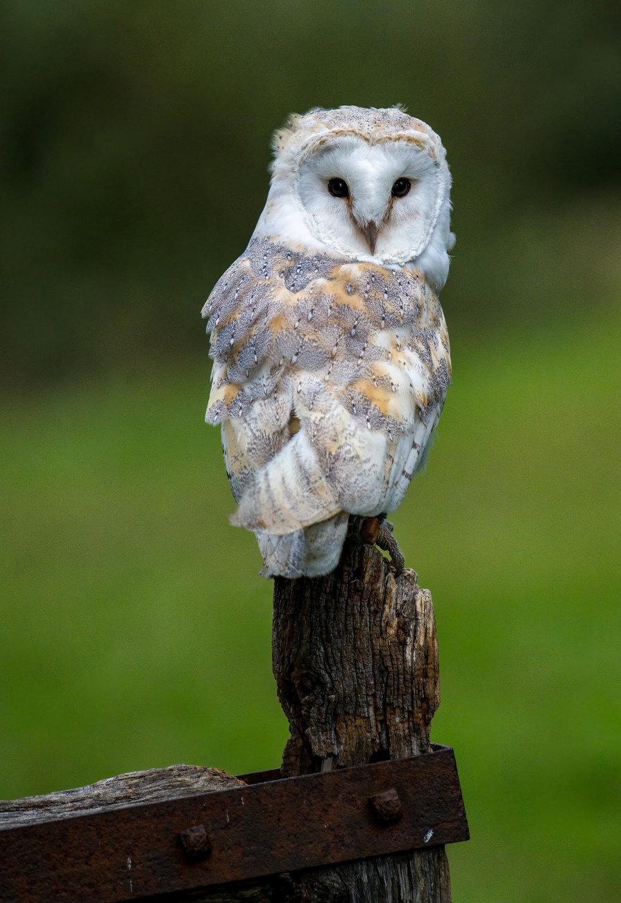 Barn Owl in the Breeze