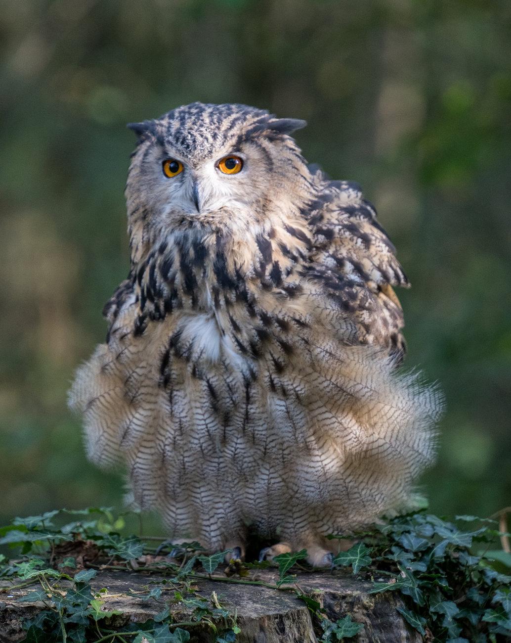 Puffed up Eagle Owl