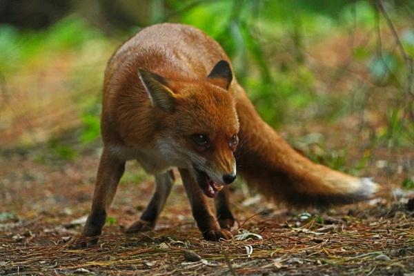 Foxy by guern