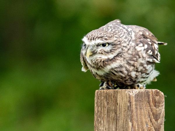 Little Owl by jimobee
