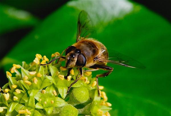 Pollen Hunter by af1