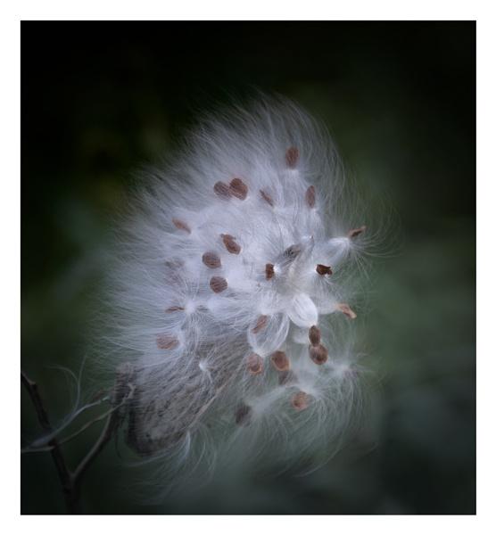 Milkweed Seeds by taggart