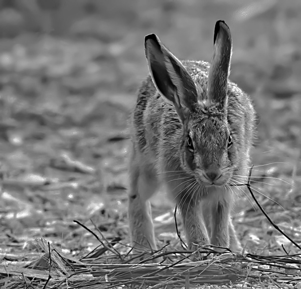 Brown Hare by Cotswold88