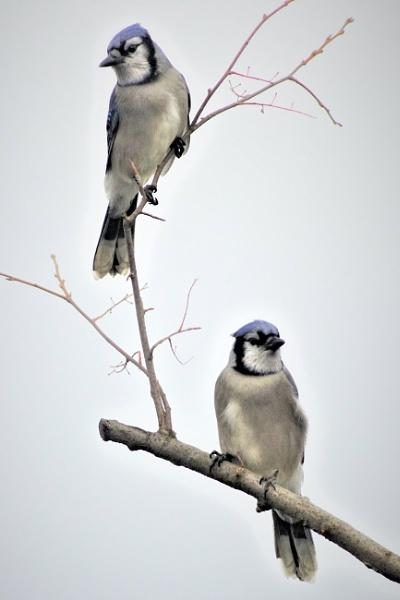 Blue Jays by A_Harrison