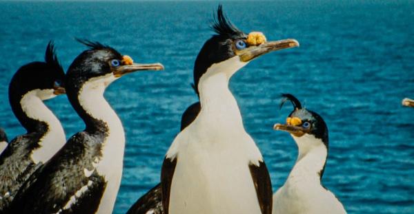 Cormorants by RonDM