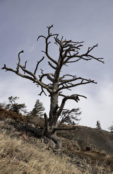 Limber pine by waltknox