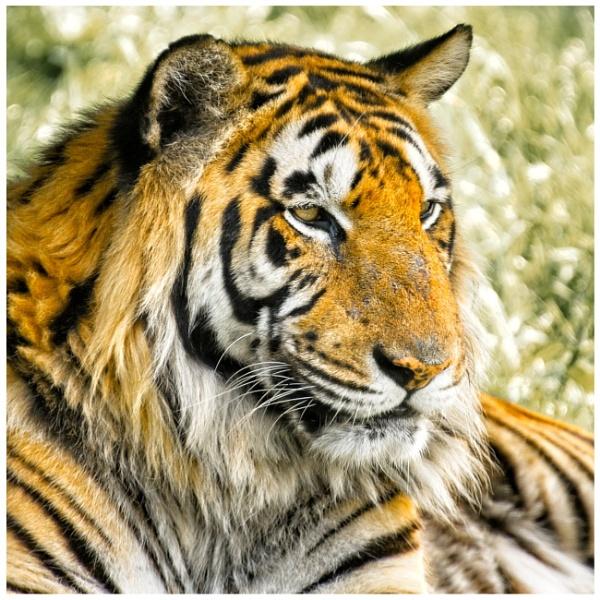 Bengal tiger, WHF by BiffoClick