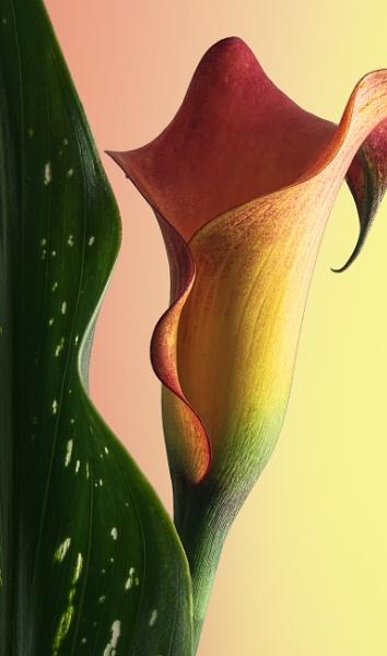 Calla Lily by Fenfotos