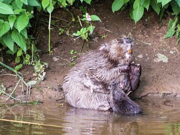 Beaver feeding Kitt