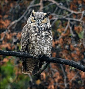 Great Horned owl(WILD)