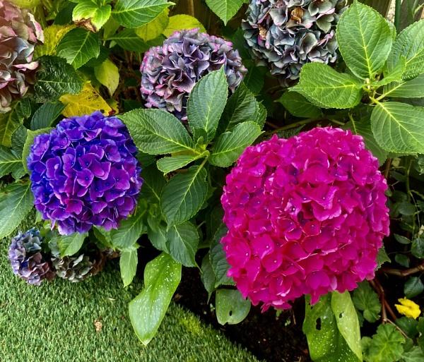Mixed Hydrangeas. by Pinarellopete