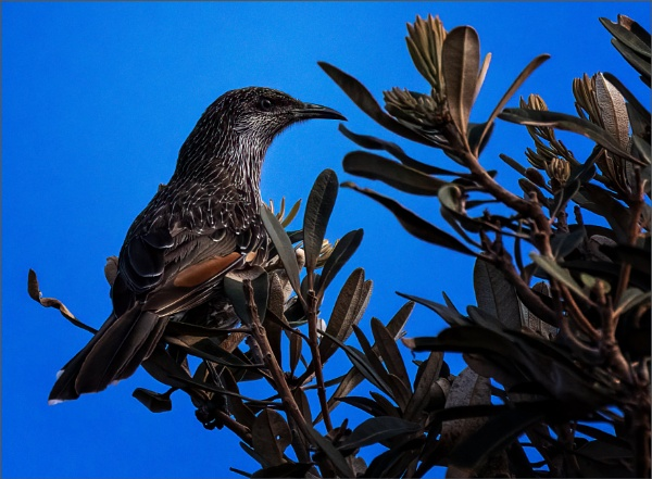 Little Wattle Bird by tvhoward950