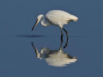 Little Egret on Reflection