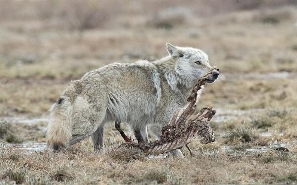 Wild Wolf by Mickwatsonphotography